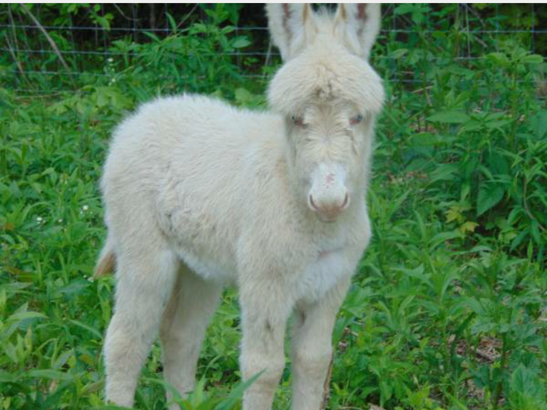Tks mountain ridge farm - MINI BLUE EYED IVORY DONKEY